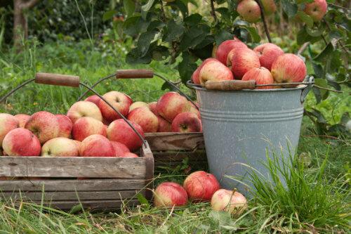 Apfelernte wie anno dazumal im Obstgarten der Familie Artner