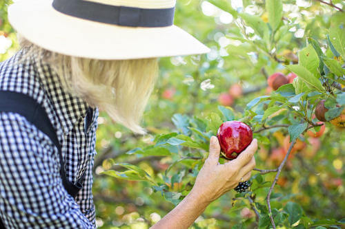 Apfelernte in den Obstgärten der Privatbrennerei Artner