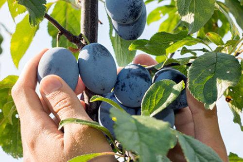 Zwetschken und jedes andere Obst werden bei den Artners noch mit der Hand gepflückt